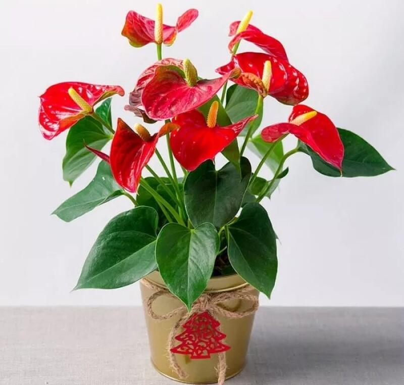 Комнатные цветы, которые будут радовать своим цветением не переставая